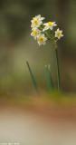 IMG_6657-1.jpg  Narcissus