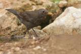 BO8R4012.jpg  Blackbird Turdus merula. female