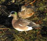 American Wigeon pair