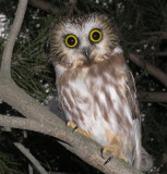 Northern SawWhet Owl
