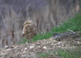 Burrowing Owl 006.JPG