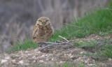 Burrowing Owl Revised.JPG