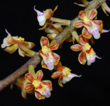 20124622  -   Malleola  constricta  Little Imp  CBR AOS   11-10-2012  Close-up 2.jpg