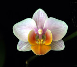 20132760  -   Phal. Beauty Amy  Levre Grande  JC/AOS   3-2-2013.jpg