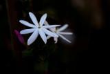 Evening jasmine