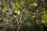 Rainbow Bee-Eaters M & F