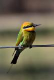 Rainbow Bee-Eater (male)