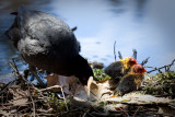 Eurasian Coot with newly hatched chicks