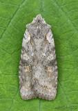 Ashen Pinion Moth Lithophane antennata #9910