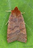 Footpath Sallow Moth Metaxaglaea semitaria #9945