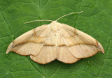 Arched Hooktip Moth Drepana arcuata #6251
