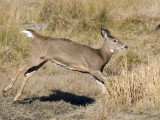 cerf de virginie - white tailed deer