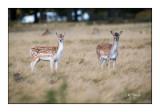 White tail deer - Daims - 3448