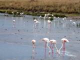 Africa White Flamingo