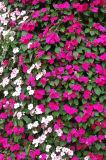 Latest Flowers of Stalybridge