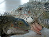 Crocodiles, caimans, iguanas etc.