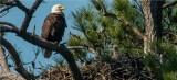 Bald Eagle and 1 of 2 eaglets