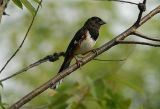 Eastern Towhee (Male) - (Pipilo erythrophthalmus)