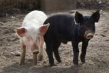 Pigs at Poblanos