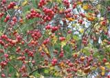 12 crabapples, arboretum