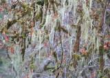 60 usnea lichen dewatto