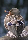 15 quacker