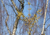 17 forsythia and birch