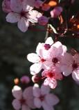 16 plum