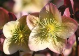12 anemone