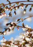 5 white plum