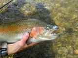 Rainbow Trout Blind Eye
