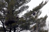 Bald Eagles Nesting Pair
