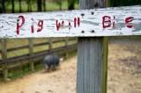 Pig Will Bite