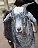 Baa Baa Black Goat