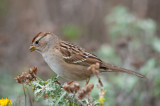 Immature White Crowned Sparrow.jpg