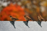 Sparrows from the Eagle rock Reservation, NJ