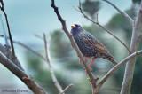 Common Starling - Etourneau sansonnet - sturnus vulgaris