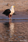 African eagle - Pygargue
