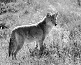 Coyote Black and White.jpg