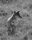 Coyote Stalking Black and White.jpg