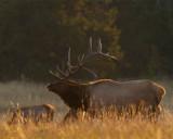 Canyon Elk.jpg