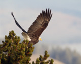 Bald Eagle Taking Off.jpg