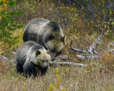 Grizzly Sow and Cub.jpg