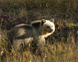 Grizzly Cub.jpg
