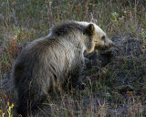 Grizzly Cub Digging for Voles.jpg