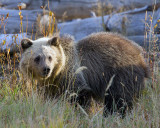 Grizzly Cub in the Tall Grass.jpg