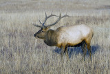 Elk in the Meadow.jpg