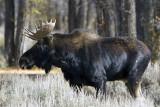 Moose in the Grass.jpg