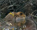 Beaver at the Dam.jpg