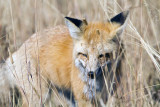Red Fox Near Mud Volcano.jpg